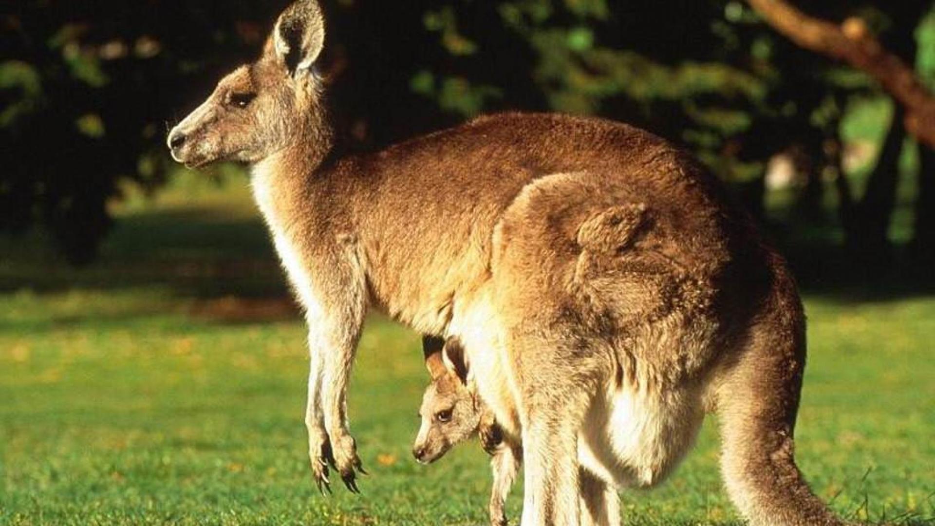 Большой рыжий кенгуру стадное животное 094e900efbb16